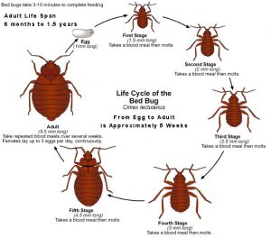 lifecycle-bedbug